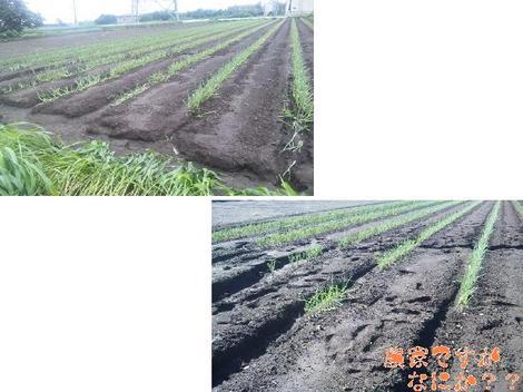 20110910 第11 長ねぎ台風被害.JPG