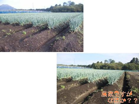 20110911 第1長ねぎ土寄せ.JPG
