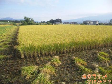 20110928  稲刈り.JPG
