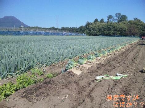 20110929 第1−1 長ねぎ収穫.JPG