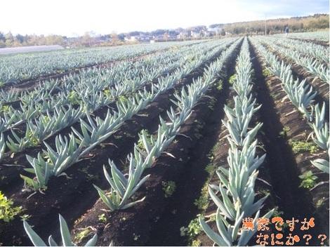 20111117 下仁田ネギ収穫.jpg