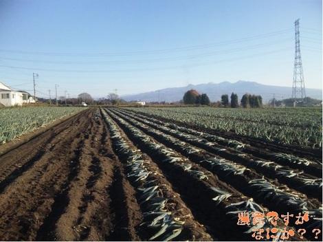 20111129 下仁田ネギ収穫.jpg