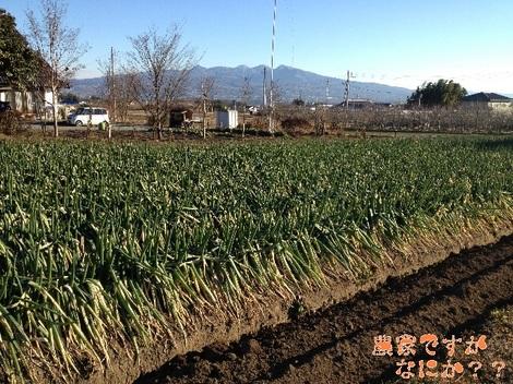 20120112長ねぎ収穫.jpg