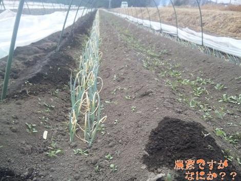 20120209 トンネルねぎ.jpg