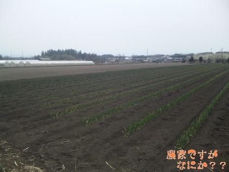 20120410 長ねぎ定植.jpg