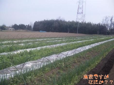 20120412 トンネルねぎ片付け.jpg