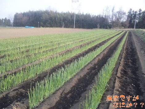 20120412 トンネルねぎ 草むしり.jpg