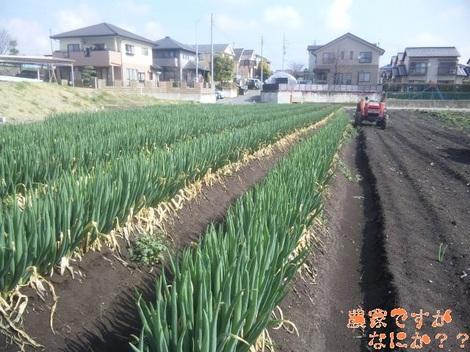 20120418 長ねぎ収穫.jpg