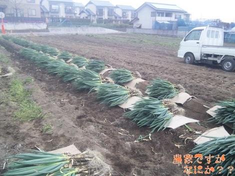 20120421 長ねぎ収穫.jpg