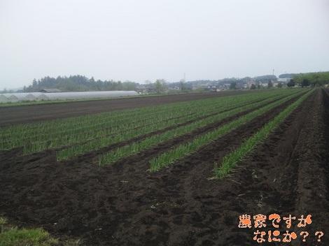 20120509 長ねぎ定植.jpg