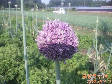 20120624 リーキ花.jpg