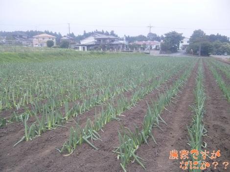 20120629 下仁田ネギ定植.jpg