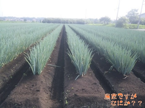 20120711 長ねぎ土寄せ(第8-1).jpg