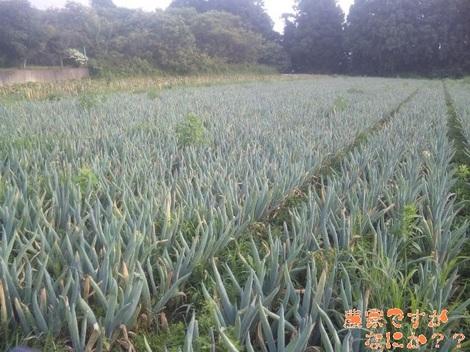 20120713 下仁田ネギ掘り取り.jpg