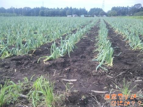 20120718 他の農家さんの春まき下仁田ネギ.jpg