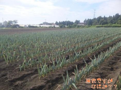 20120721 第2下仁田ネギ本植.jpg