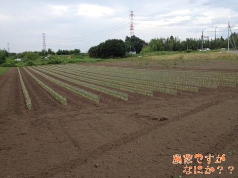 20120819 第12長ねぎ定植.jpg