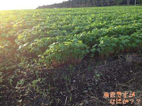 20120828 そば畑3.jpg