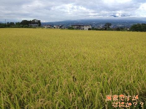20120929 稲刈り.jpg
