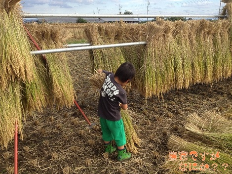 20120929 稲刈り2.jpg