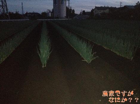 20121008 長ねぎ第11 土寄せ.jpg