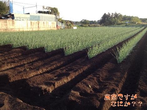 20121008 長ねぎ第12 土寄せ.jpg