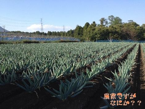 20121021 下仁田ネギ第1.jpg