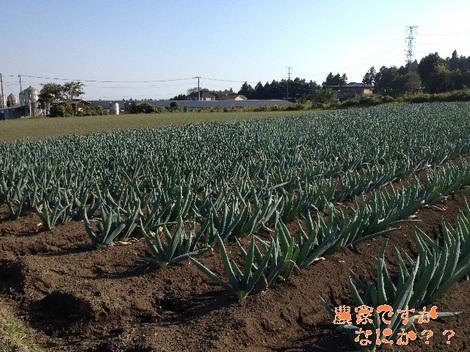 20121021 下仁田ネギ第2.jpg