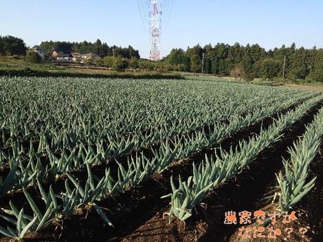 20121021 下仁田ネギ第9.jpg