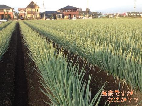 20121023 吉岡第1長ねぎ.jpg