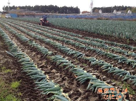 20121130下仁田ネギ収穫開始.jpg