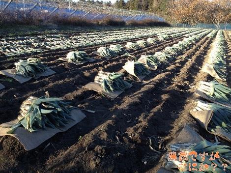 20121208 第1下仁田ネギ収穫終了.jpg