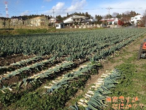 20121211 第7下仁田ネギ収穫.jpg