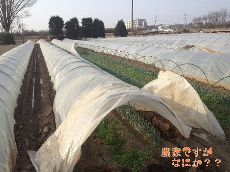 20130307トンネルねぎ.jpg