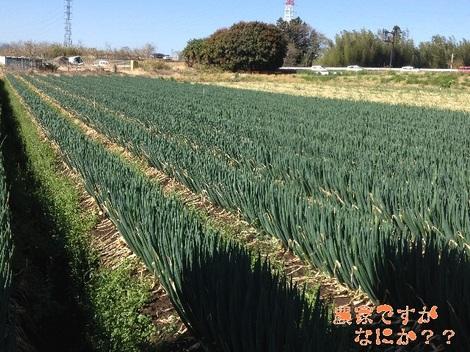 20130410長ねぎ収穫.jpg