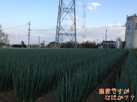 20130428 長ねぎ収穫開始.jpg