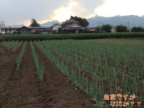 20130712第11下仁田ネギ.jpg