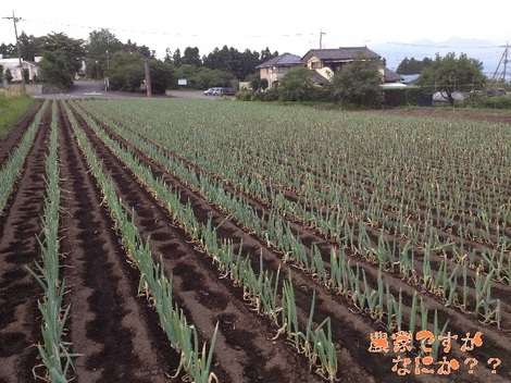 20130712第8下仁田ネギ.jpg