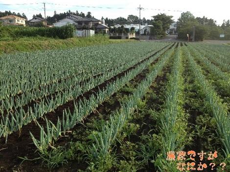 20130803下仁田ネギ草むしり.jpg