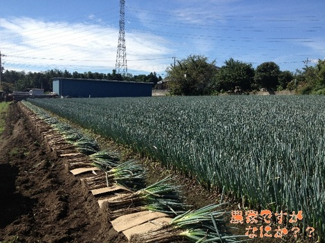 20130912長ねぎ収穫.jpg