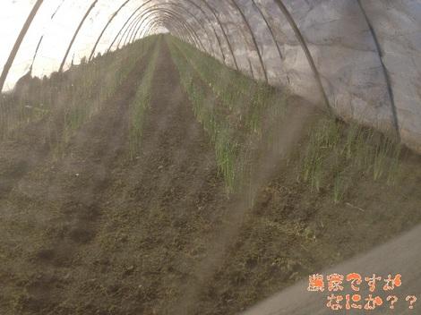 20131113トンネルねぎ苗.jpg