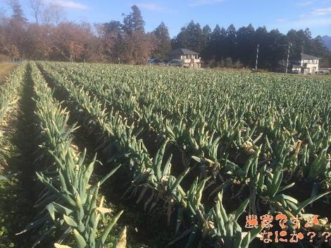 20131203第1下仁田ネギ.jpg
