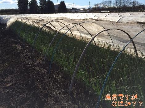 20131223トンネルねぎ 苗.jpg