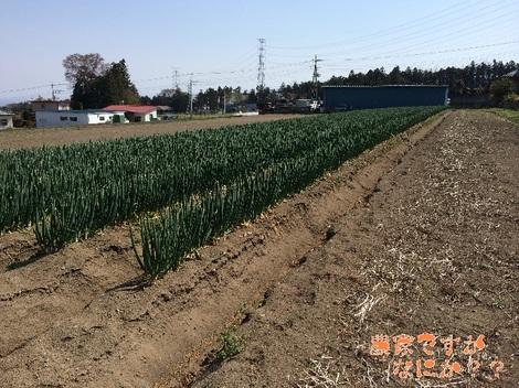 20140415長ねぎ4月収穫.jpg