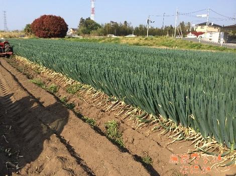 20140428長ねぎ収穫.jpg