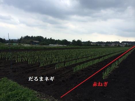 20140702赤ねぎ だるまネギ.jpg
