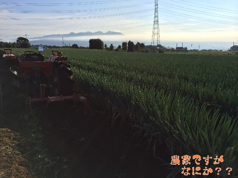 20140912長ねぎ収穫.jpg