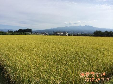 20141008稲刈り前.jpg