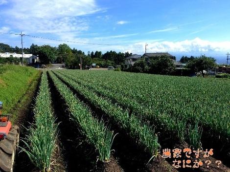 20150916長ねぎ収穫.jpg