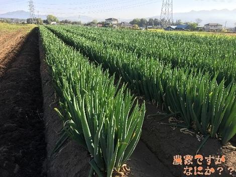 20160425長ねぎ収穫.jpg